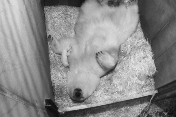 Jääkaru Nora sai esimest korda emaks!