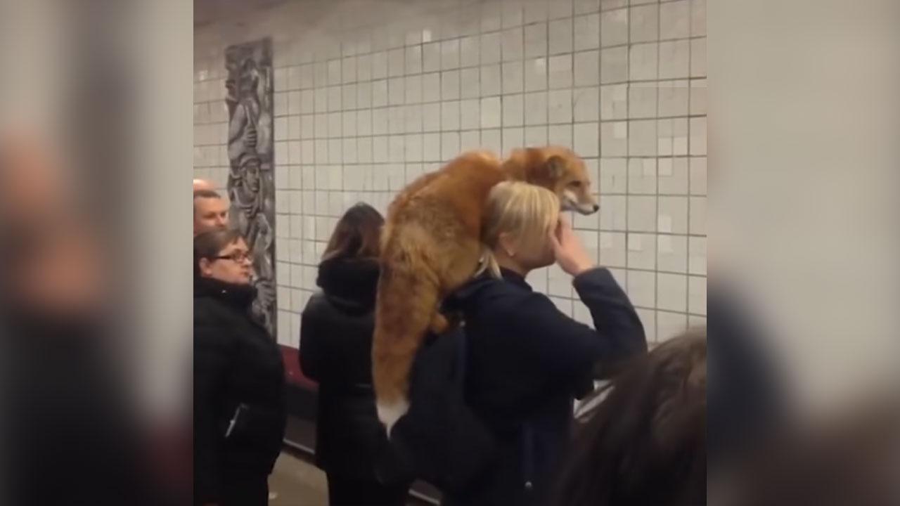 Rebane reisib metroos