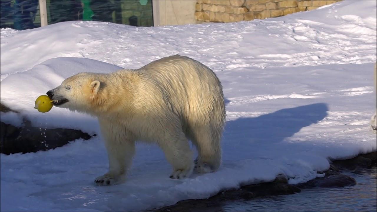 Tallinna loomaia jääkarud lumes möllamas