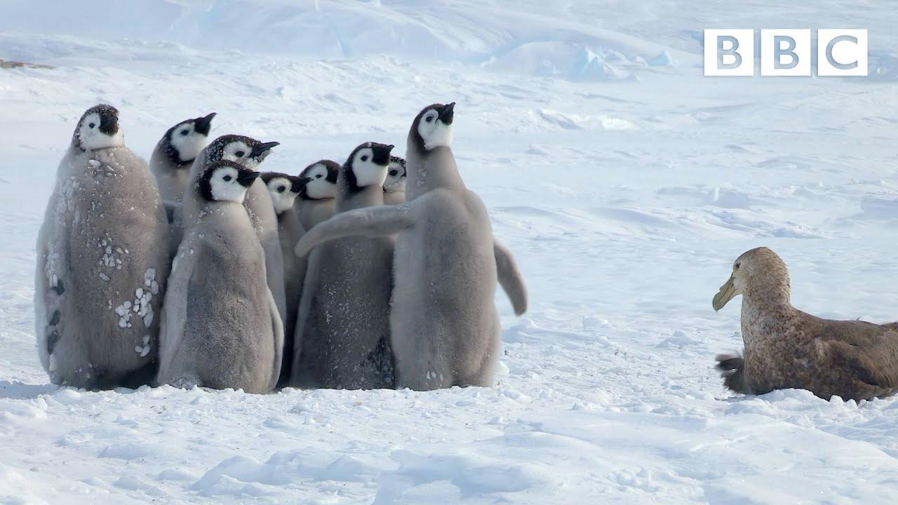Pingiviinipoegade päästeoperatsioon