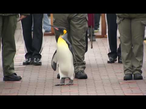 Pingviin Norra kuninglikku kaardiväge inspekteerimas