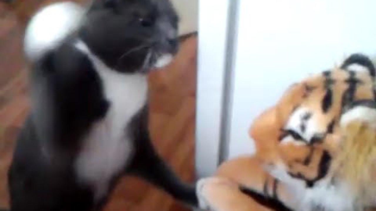 Vaata kuidas kass tiigriga kakleb