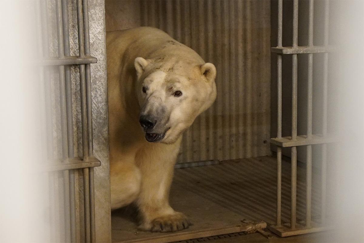 Tallinna loomaaeda tuli uus jääkaru Rasputin